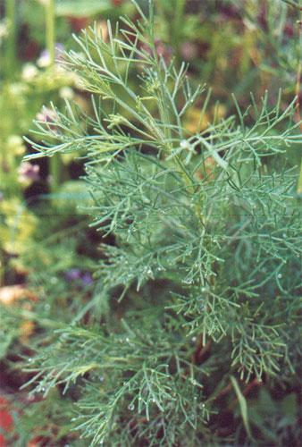 artemisa-abrotanum