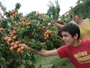 Dain y Adalu cosechando albaricoques en 300 pix