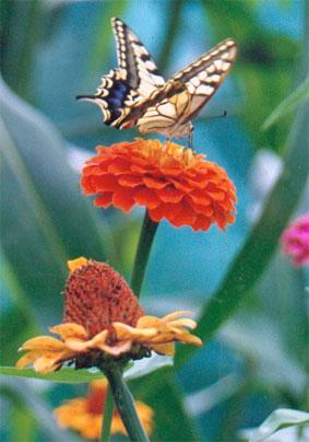 Foto-mariposa-y-zinia-3