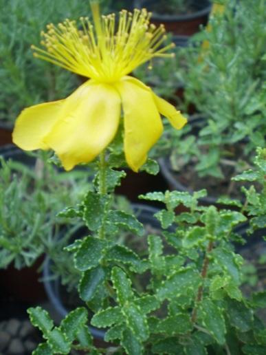 Hipericum Balearicum.JPG