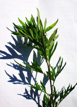 artemisa-vulgaris-web