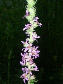 flor-lithrium-salicaria-web