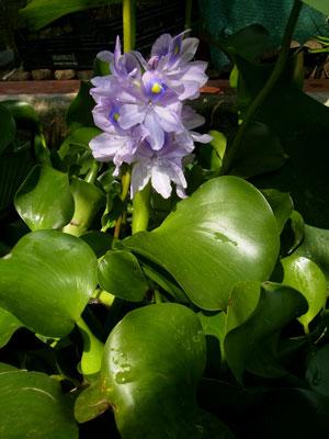 jacinto-de-agua-web
