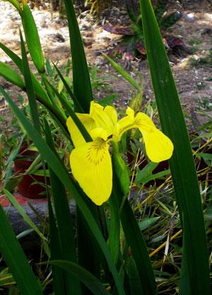 lirio-amarillo-web