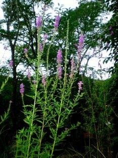lythrium-salicaria-web
