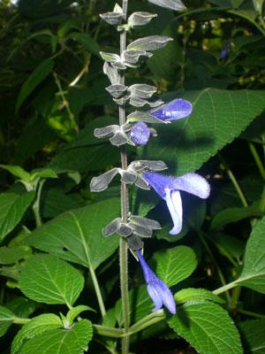 Salvia-amargón-web