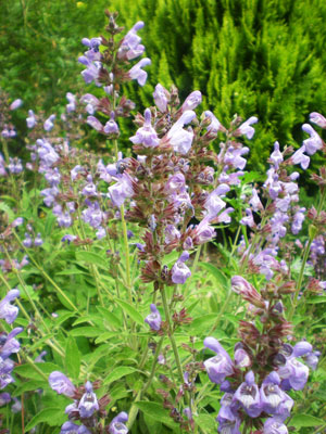 Salvia-officinalis-web