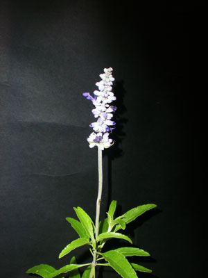 Salvia-reina-azul-web
