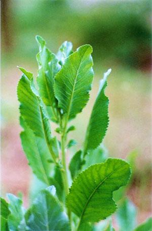 Tanacetum-balsamita-web