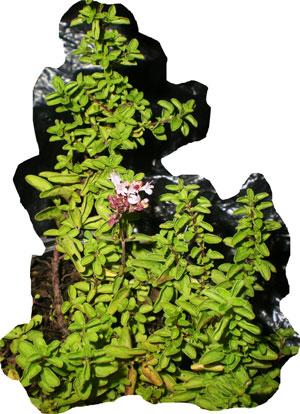 Oregano-tapizante-web