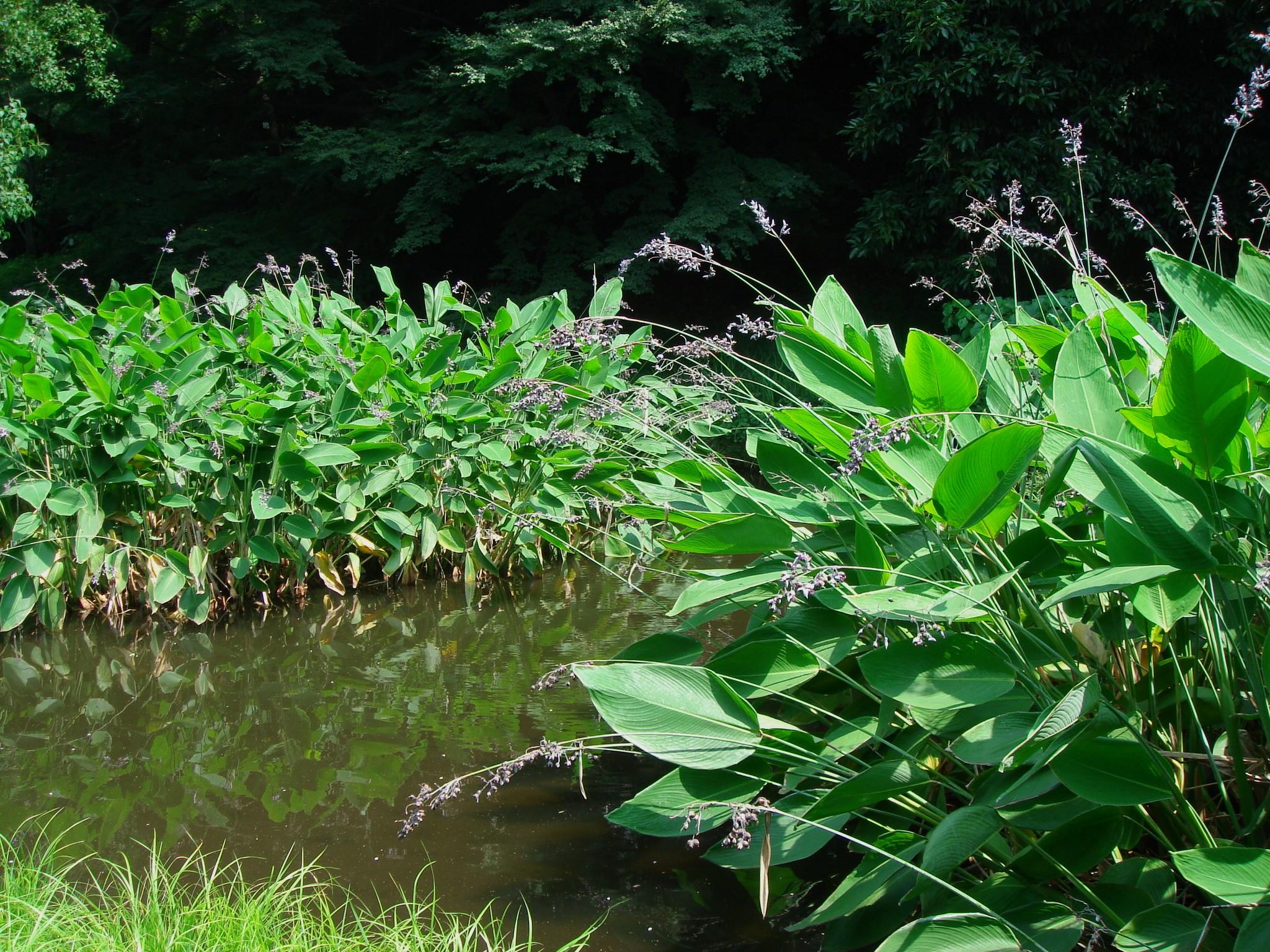 Plantas acuaticas y depuradoras el vergel de las hadas for Depuradora estanque