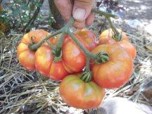 tomates muchamiel