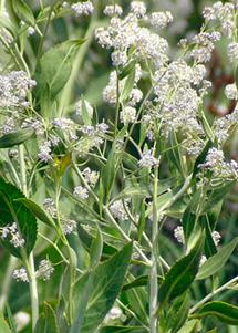Lepidium latifolium 1